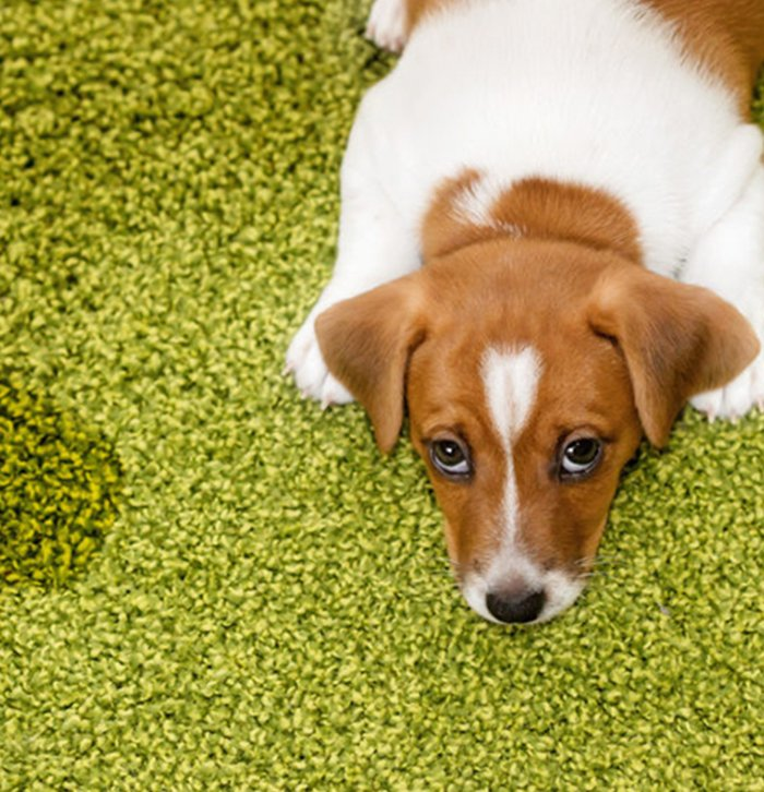 Pet Stains & Odor Removal in New York